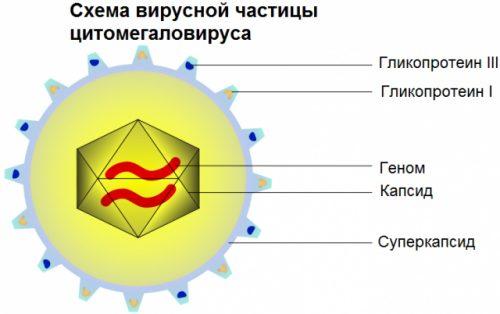 Цитомегаловирус (ЦМВ, HCMV)