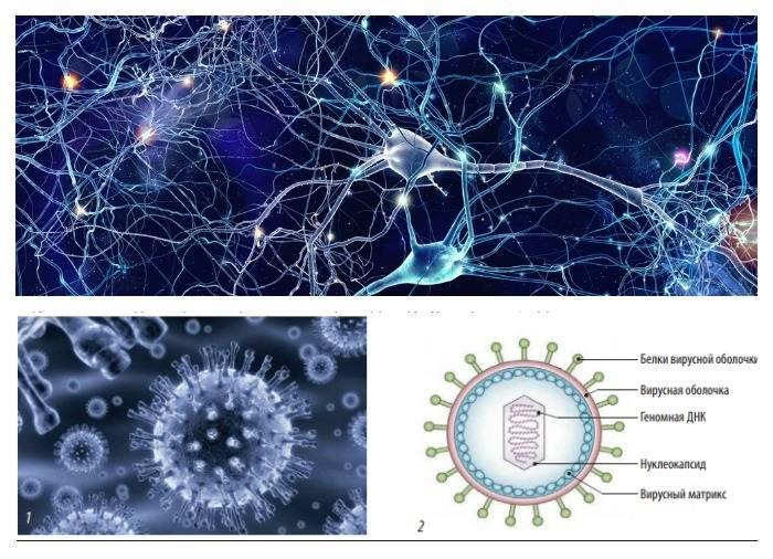 Герпес и нервная система